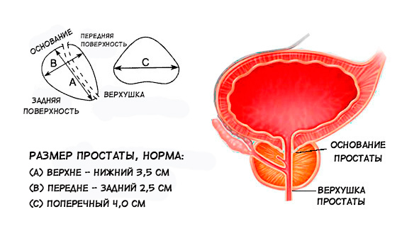 Размеры предстательной железы в норме