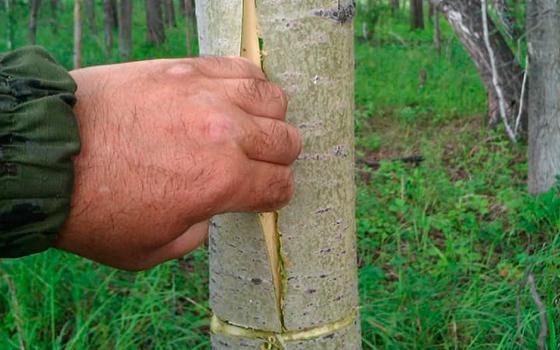 Как правильно снять кору осины
